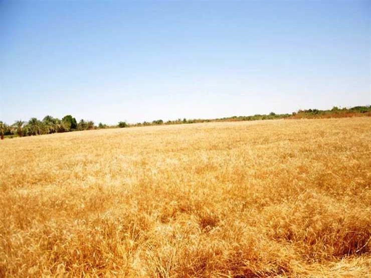 القمح المنزرع بأسوان