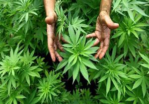 جمعية القلب الأمريكية: تدخين الماريجوانا يهدد بتوقف القلب والسكتات الدماغية