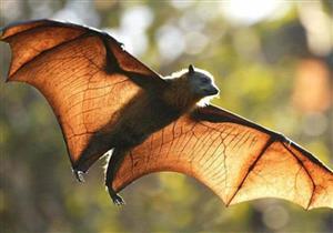 دراسة تكشف حقائق مثيرة عن تورط الخفافيش في ظهور كورونا