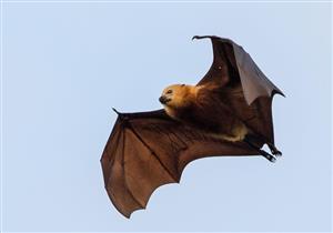 خطر جديد يهدد العالم.. اكتشاف فيروس قاتل مصدره الخفافيش في أستراليا