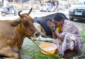 بعد استخدامه في الهند.. هل دهن الجسم بفضلات الأبقار يقي من كورونا؟