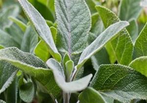 5 فوائد لا تتوقعها لعشبة الميريمية.. هل لها آثار جانبية؟