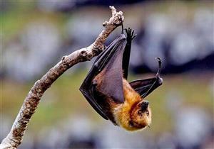 دراسة صينية: تبرئ الخفافيش من انتشار فيروس كورونا المستجد في ووهان