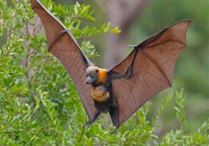 مصدره الخفافيش.. فيروس خطير يضرب الهند