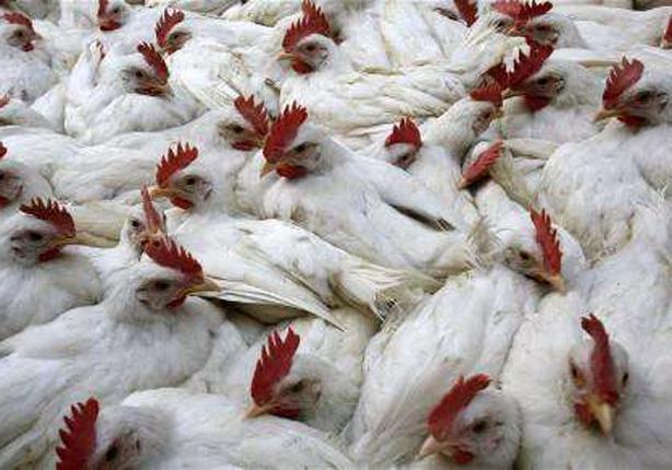الصحة: ارتفاع مصابي انفلونزا الطيور لـ 20 حالة.. وهذه طرق الوقاية