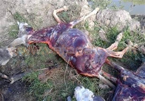 العثور على حمير مسلوخة الجلد في قرية ببني سويف