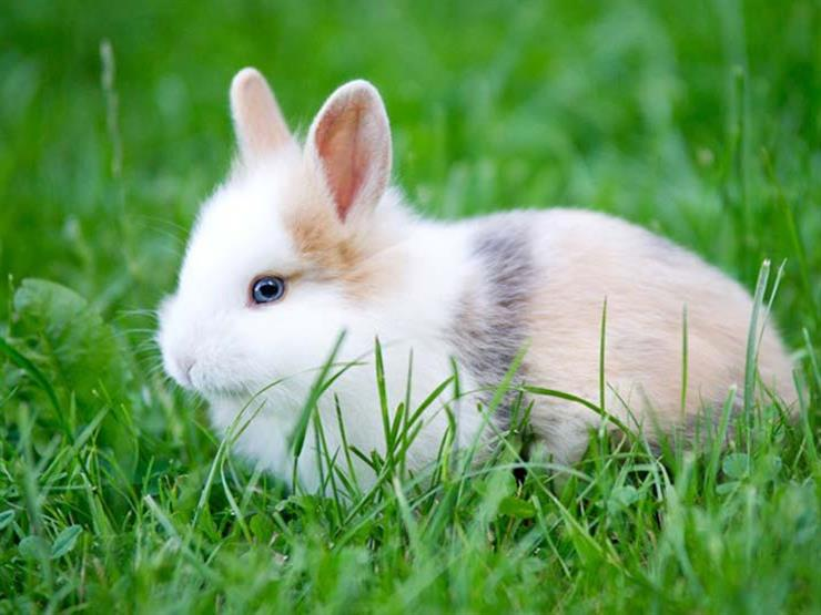 هل امتنع النبي عن أكل الأرنب؟.. ما بين الحقيقة والشائعات