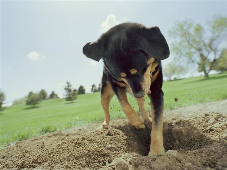 عالمة سلوك تكشف عن 3 أسباب وراء حب الكلاب للحفر