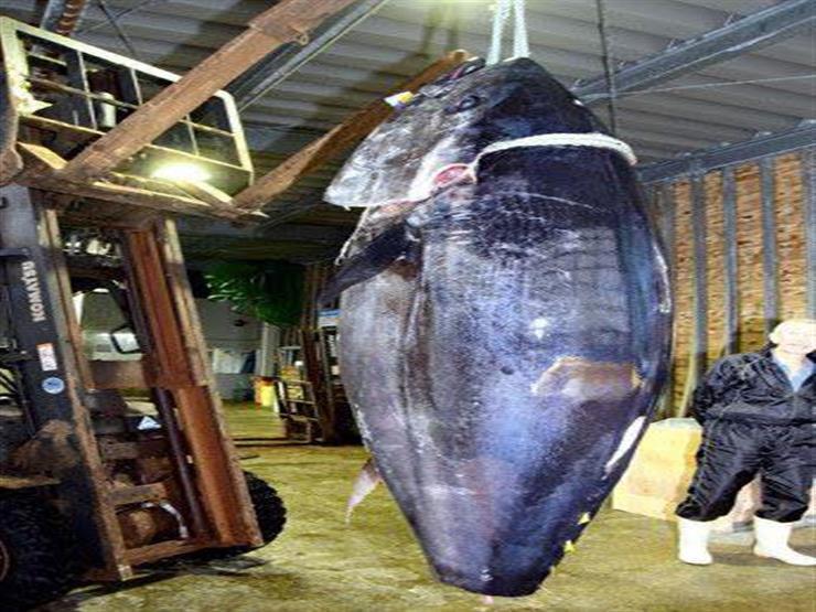 سمكة تونة تزن 399 كيلو جراماً.. كم يبلغ ثمنها ؟