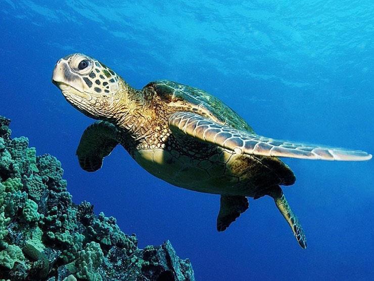 الإفتاء تناول السلاحف البحرية بهذه الطريقة حرام شرع ا ومن مصراوى