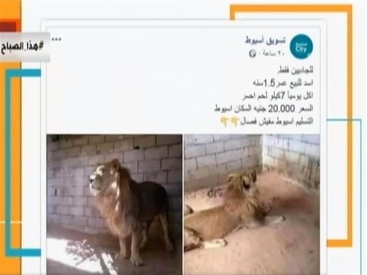 لأول مرة في مصر عرض أسد للبيع على فيسبوك مصراوى