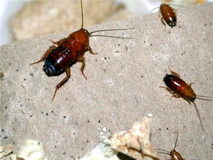 لماذا تعيش الصراصير في الأماكن القذرة ويصعب التخلص منها؟
