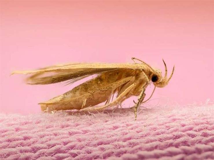 ما سبب انتشار حشرة العث في خزانة الملابس وكيف يمكن تجنب تكاث مصراوى