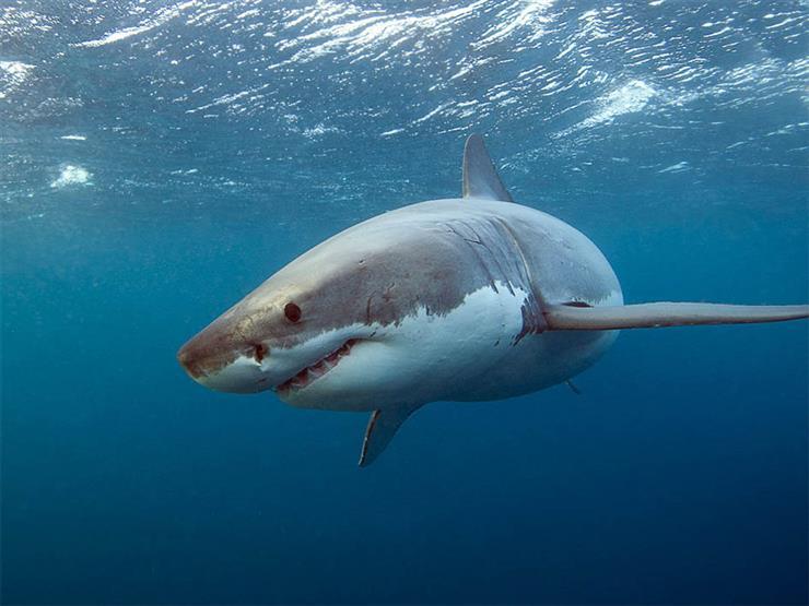 """بعد مصرع """"سائح مرسى علم"""".. كيف تنجو بنفسك من هجمات أسماك القرش؟"""