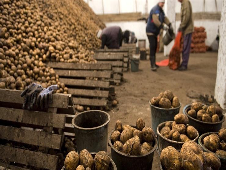 قفزة كبيرة في أسعار البطاطس والكيلو يصل إلى 12 جنيها