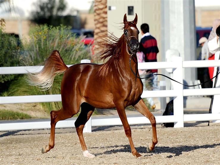 """الأقدم في العالم"""".. 7 معلومات عن محطة الزهراء للخيول العربي   مصراوى"""
