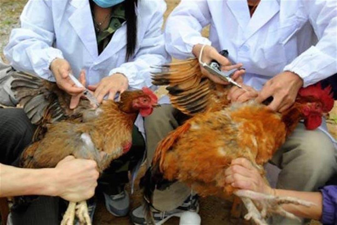 انتشار فيروس شديد العدوى من إنفلونزا الطيور في هولندا