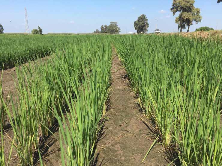 تقرير أمريكي: قانون الري الجديد في مصر سيحد من زراعات الأرز المخالفة