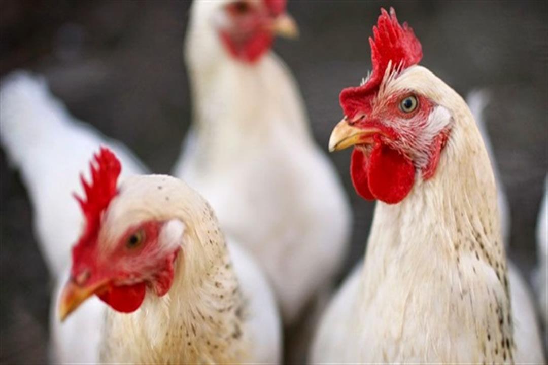 روسيا تسجل أول حالة إصابة البشر بإنفلونزا الطيور
