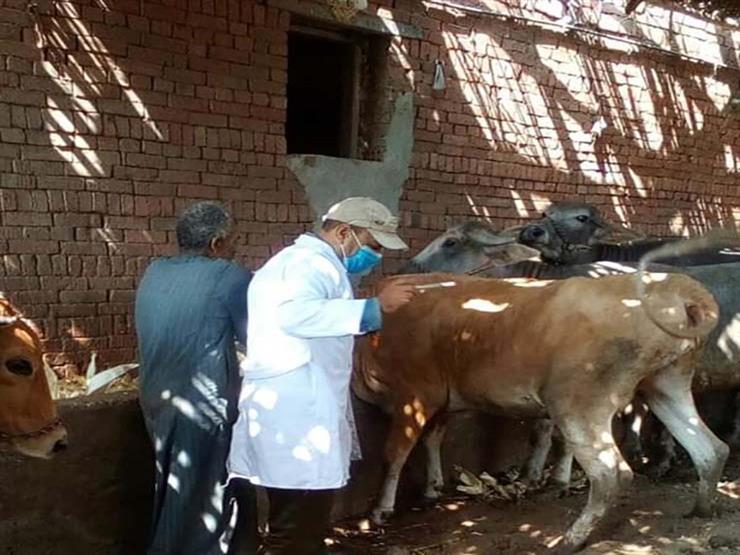 """""""الزراعة"""": فحص وعلاج 234 ألف رأس ماشية مجانا خلال 2020"""