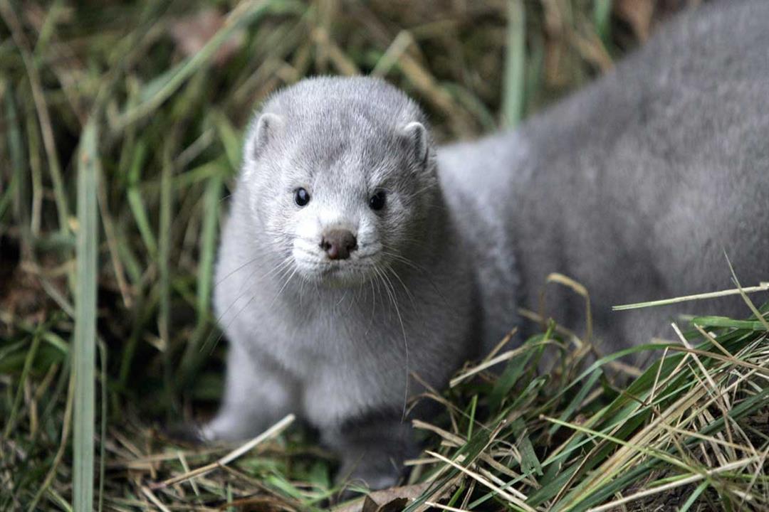 الدنمارك تدرس استخراج حيوانات المنك التي تم إعدامها وحرقها