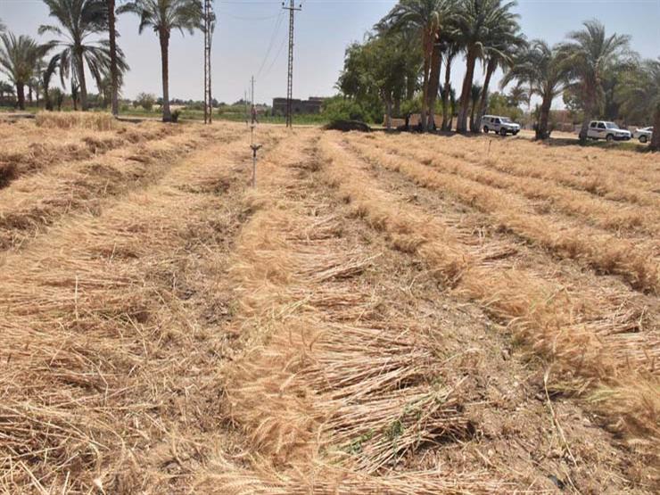 الحكومة تكشف حقيقة التراجع عن شراء القمح من المزارعين