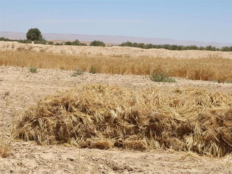 بـ24 ألف طن.. انتهاء توريد محصول القمح في الأقصر