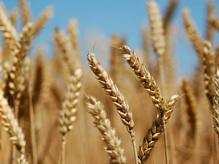 ننشر الخطة الكاملة لزراعة القمح.. ورئيس قطاع الإنتاج: البداية بـ1500 فدان