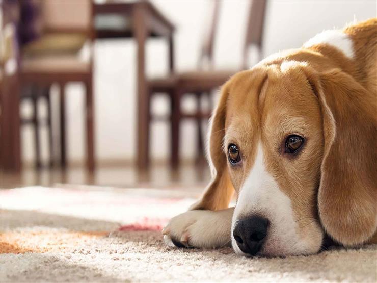 #بث_الأزهر_مصراوي.. ما حكم تربية الكلاب داخل المنزل وليس في الحديقة؟