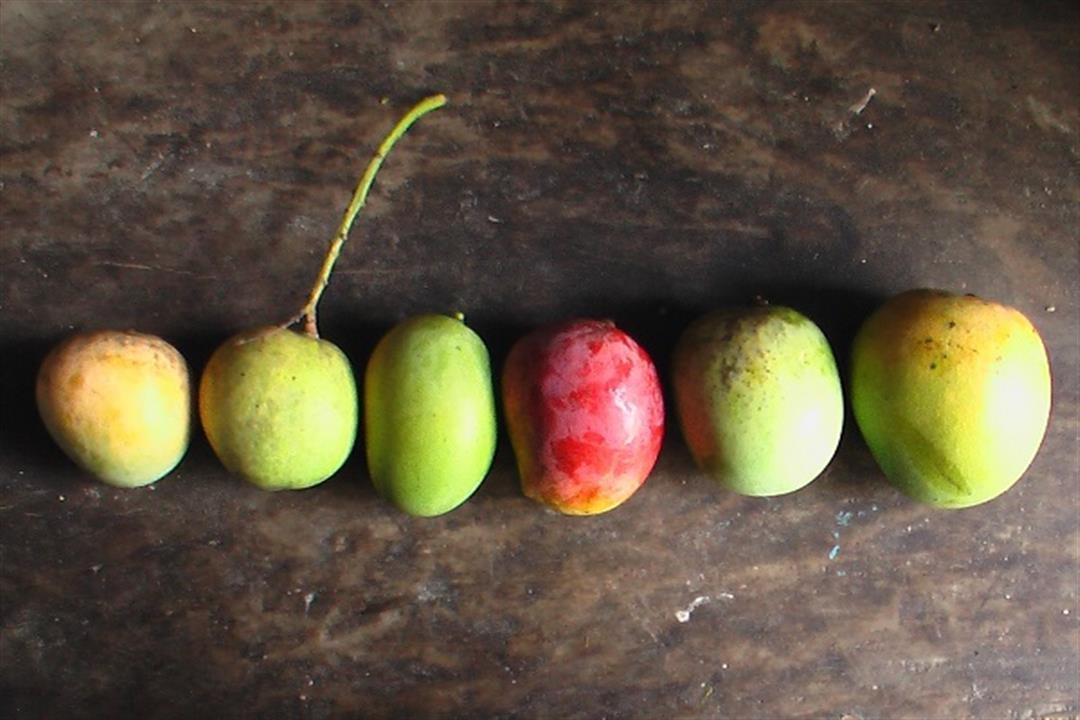 10 أنواع للمانجو.. أيهم أكثر فائدة لصحة الإنسان؟