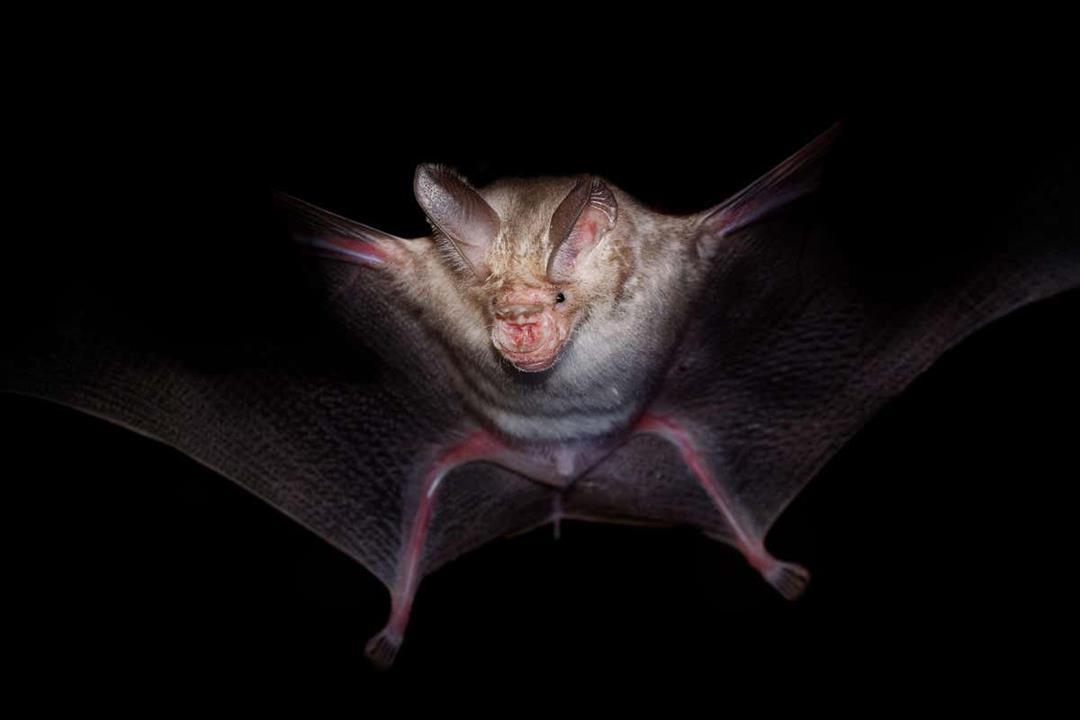 تنقله الخفافيش.. اكتشاف فيروس نادر في فرنسا