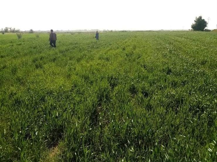 """""""65 حقلًا إرشاديا للزراعات الجديدة بالوادي الجديد"""".. الزراعة توضح التفاصيل"""