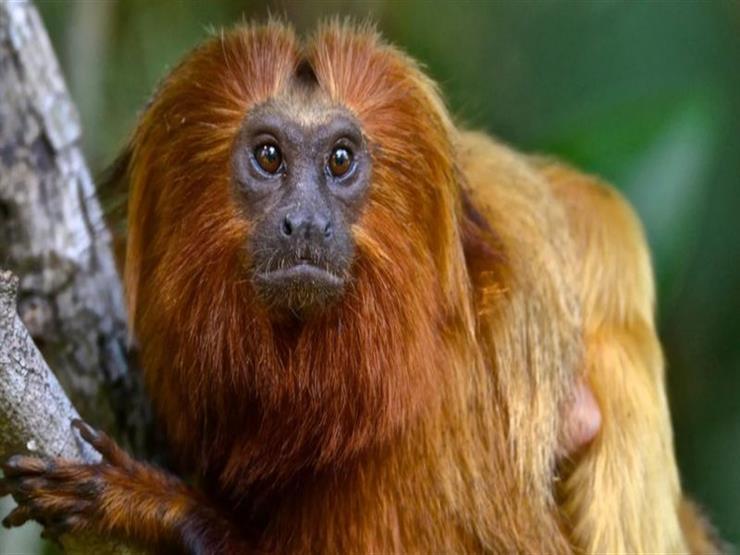 كيف يساعد تطعيم القرود في منع تفشي وباء جديد؟