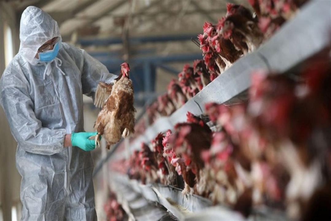اكتشاف سلالة جديدة من إنفلونزا الطيور في روسيا