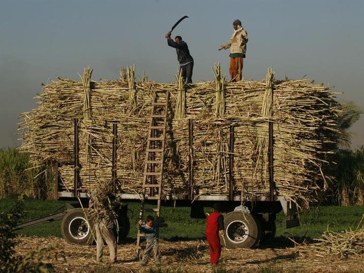 """""""الزراعة"""" تصدر نشرة بالتوصيات الفنية لمزارعي محصول قصب السكر في مارس"""