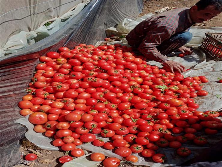 """الزراعة عن واقعة فيديو الطماطم: """"تالفة.. وصاحبها ألقاها في المصرف لتغذية الأسماك"""""""