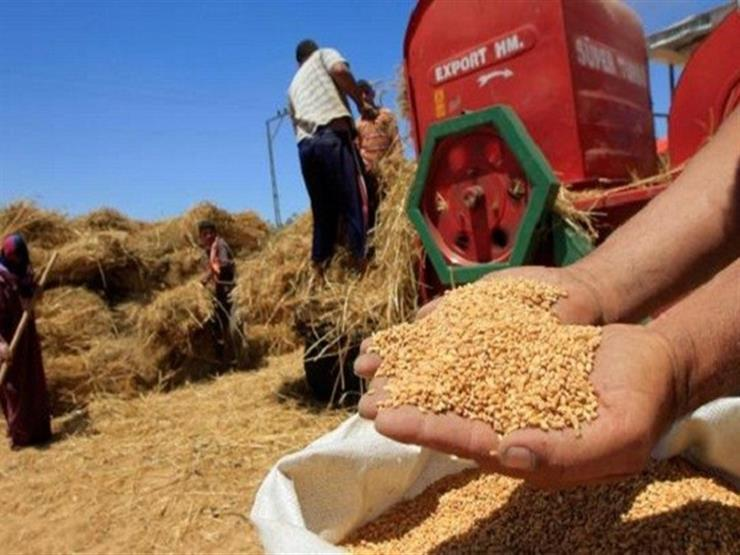 اليوم.. وزارة التموين تبدأ استلام القمح المحلي من المزارعين