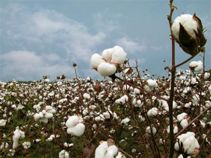 الذهب الأبيض.. الفلاحون يواصلون زيادة مساحات زراعة الأقطان بالموسم الجديد