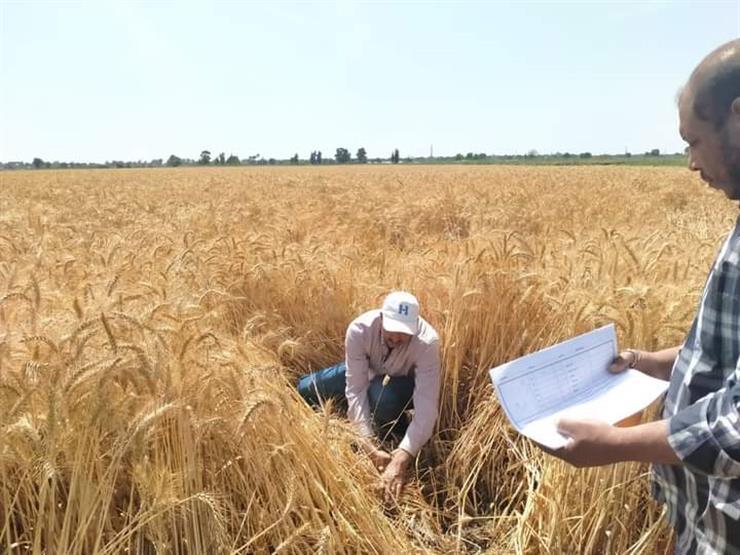 قطاع الخدمات الزراعية: البحث العملي يتناغم مع البيئة المصرية لزيادة إنتاج القمح