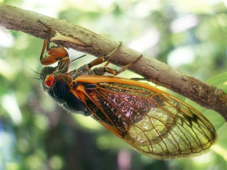بعد اختبائها 17 عاما.. مليارات حشرات الزيز سـتغزو مناطق واسعة من الولايات المتحدة