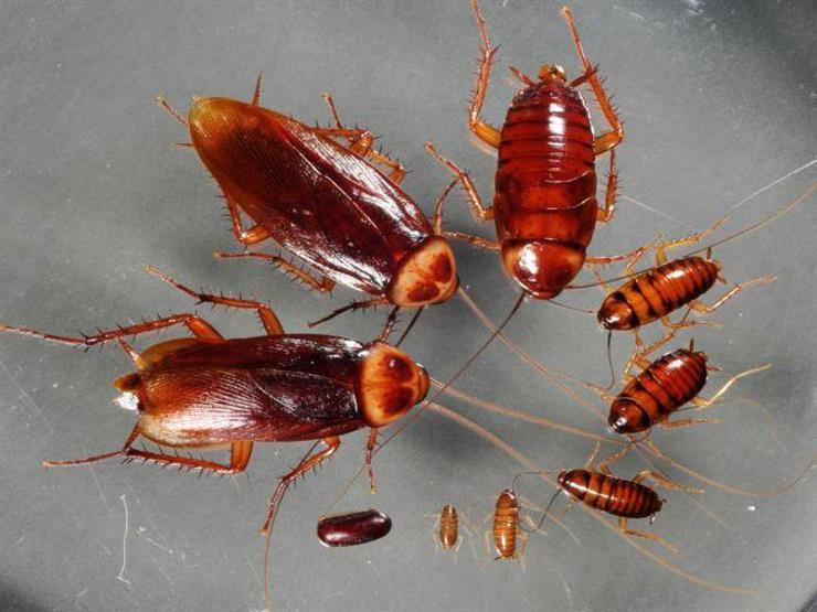 7 طرق للتخلص من الصراصير في المنزل للأبد.. منها النعناع