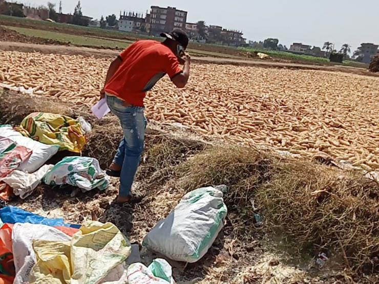 """""""الزراعة"""": ضبط 150 طن تقاوي ذرة شامية غير مرخصة بالبحيرة -صور"""
